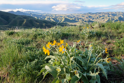 Balsamroot enhances the landscape in spring.