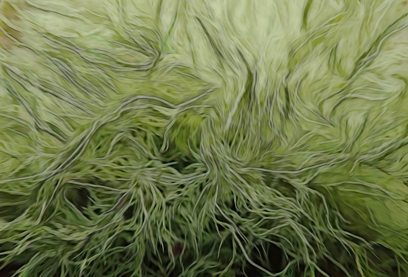Sheild Lichen Swirl