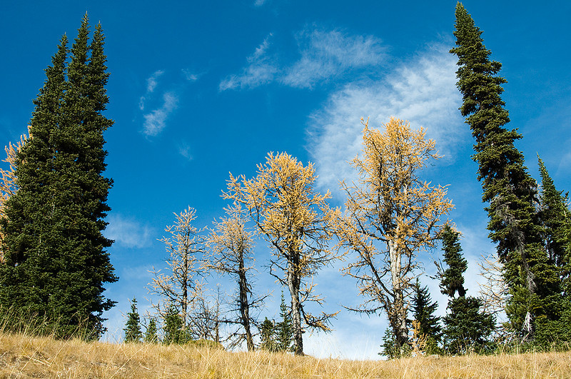 More larch trees