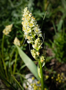 Meadow deathcamas.