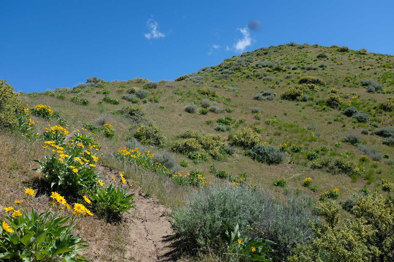 A patch of balsamroot still at peak on a SE valley face.