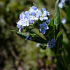 Forget me not of some kind (this one clustered.)