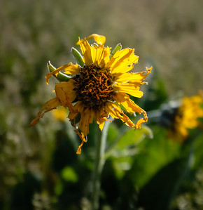 Near the end of balsamroot bloom.