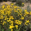 California Goldfields flowers