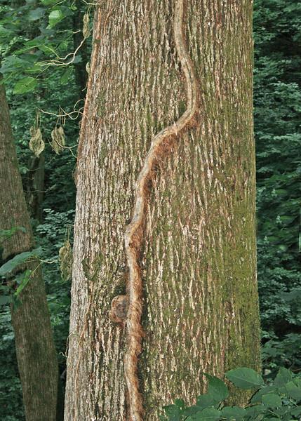 Vine climbing up tree