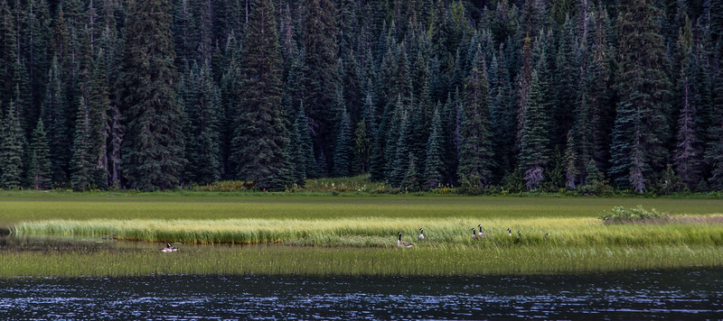 PCT 2016 Canada Geese 7-25-16_MG_0572