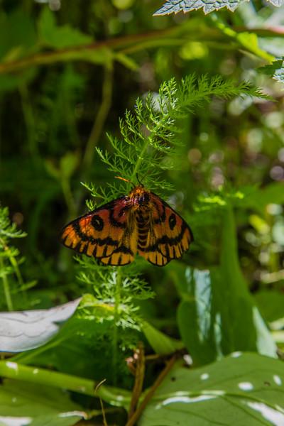 PCT 2016 Hyas Lake butterfly 7-25-16_MG_0537