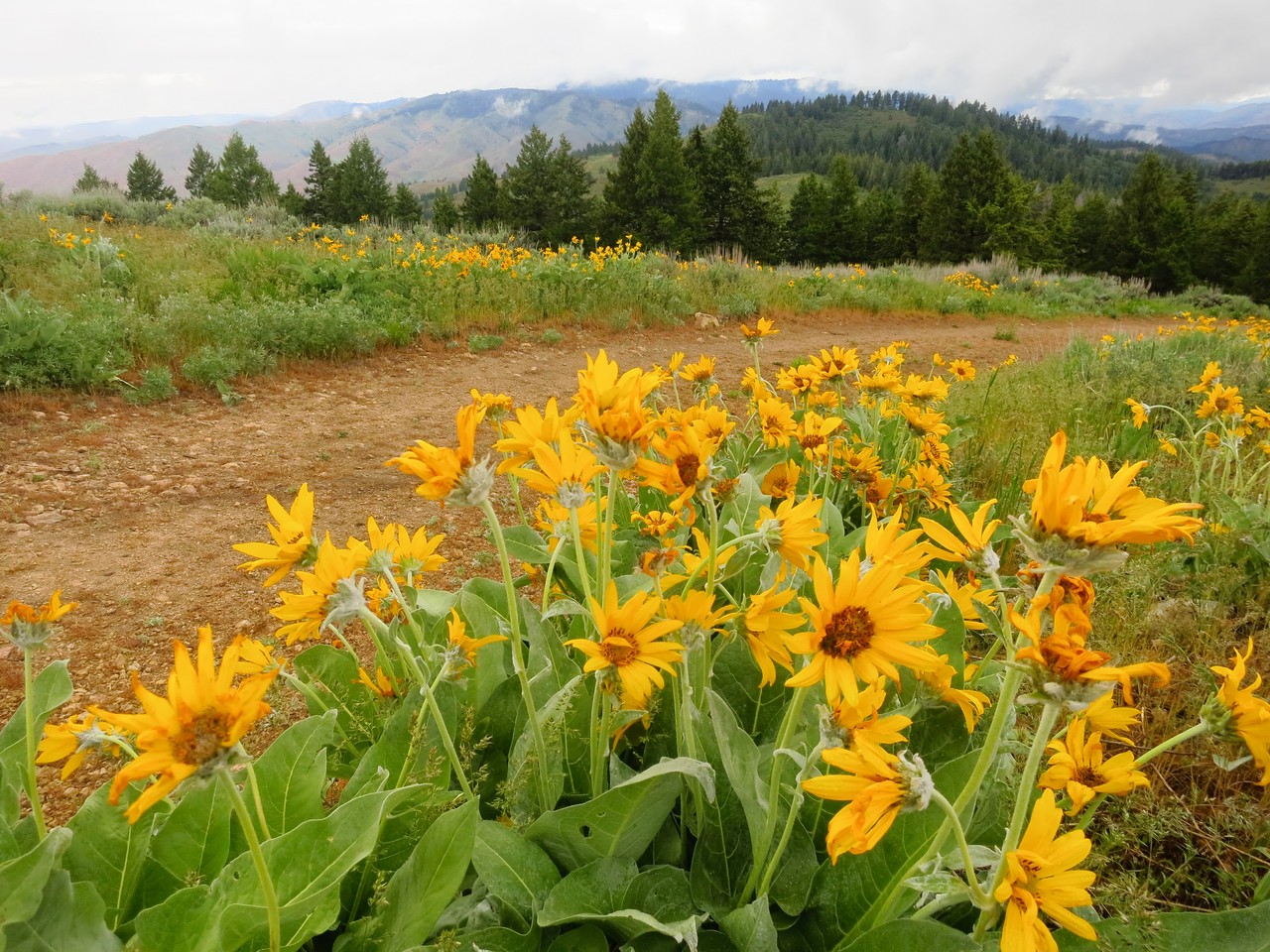Balsamroot still brilliant up here.