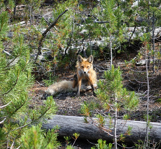 The fox says hi.