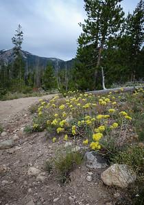 Buckwheat in full bloom trailside.
