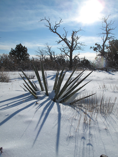 A yucca in the sun