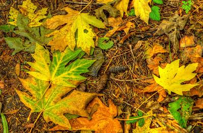 Big Leaf Maple leaves predominate.
