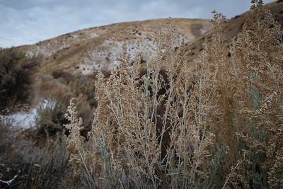 Sagebrush seeds.