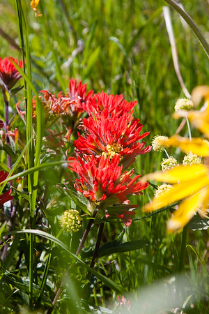 Paintbrush and arrowleaf balsamroot