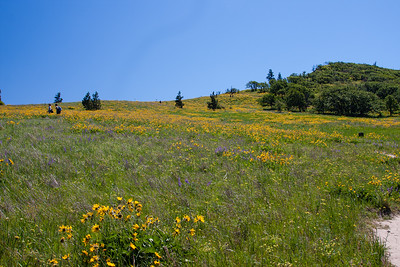 Lots of lupine and balsamroot