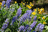 Lupine and arrowleaf balsamroot