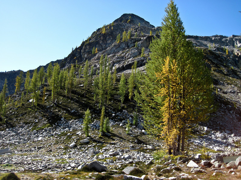 The Larch beginning to turn.