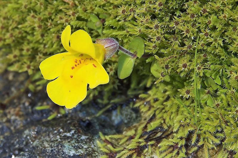 Mountain Monkey Flower