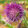 Edible Thistle