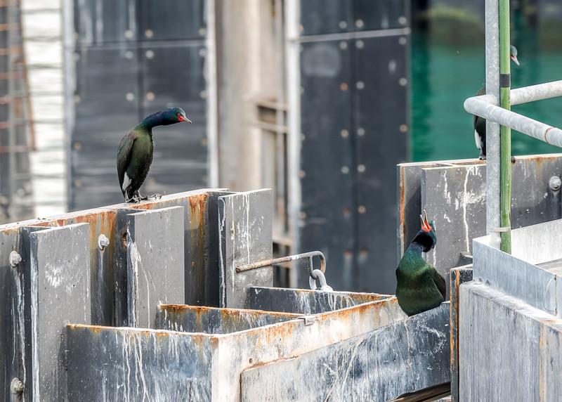 Cormorants at the Annacortes ferry dock