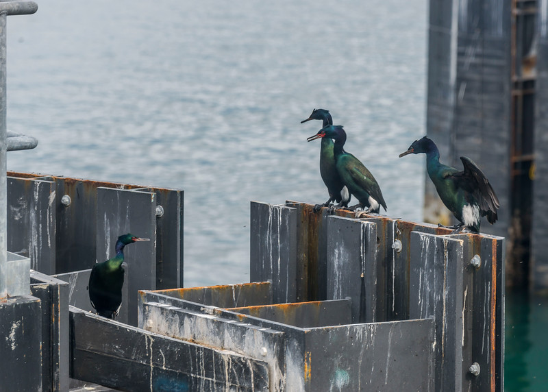 Cormorants at the Annacortes ferry dock