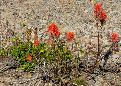 Indian Paintbrush flowers near the Johnston Ridge Observatory
