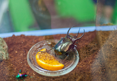 A beetle at Victoria's Bug Zoo