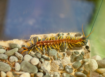 Centipede at Victoria's Bug Zoo