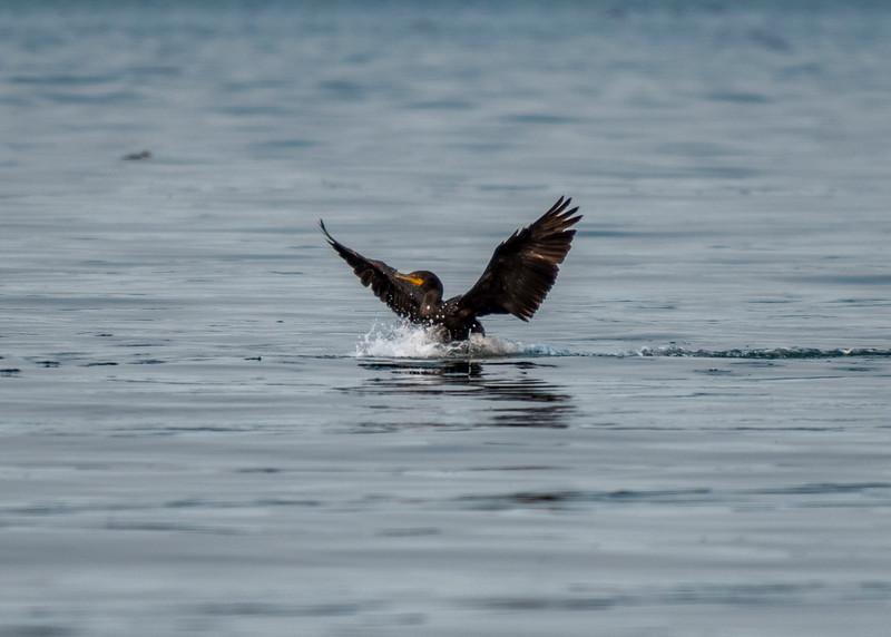 Cormorant landing near the Annacortes ferry terminal.
