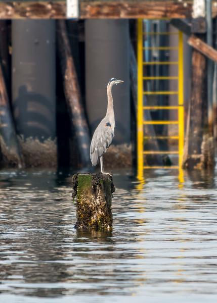 Heron at the Annacortes ferry terminal.