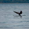 Cormorant landing near the Annacortes ferry terminal.