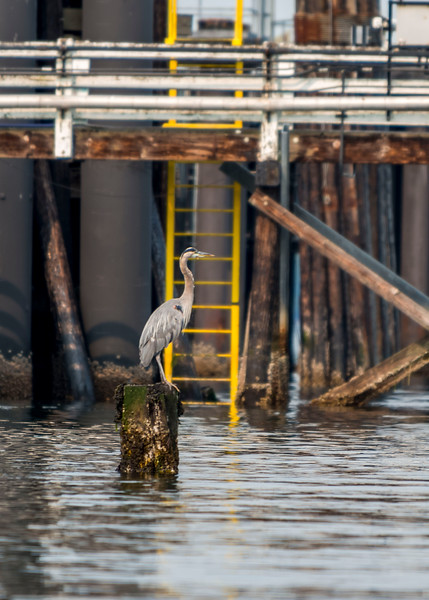 Heron at the Annacortes ferry terminal.