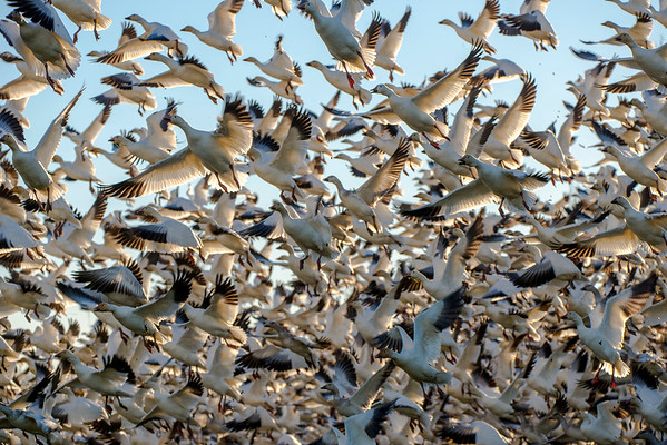Skagit Valley Snow Geese - December 2014