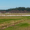 Snow Geese in the Skagit Valley