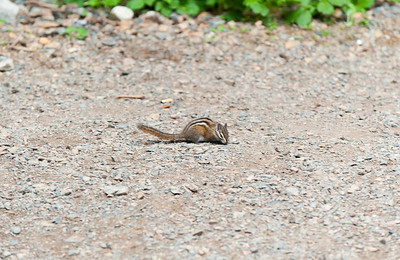A chipmunk at the start of the Denny Creek trail that Kaitlyn absolutely had to have a picture of.
