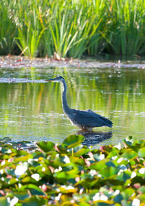 A blue heron at Yakima Sportsman State Park.