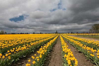 Skagit Tulips 4-2014