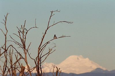 Kingfisher with Mt. Baker Nikon F4 Nikon 300mm f4 Kodak Portra 800