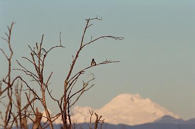 Kingfisher with Mt. Baker Nikon F4 Nikon 300mm f4 Kodak Portra 800