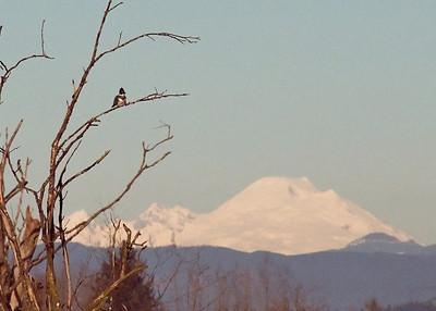 Kingfisher with Mt. Baker