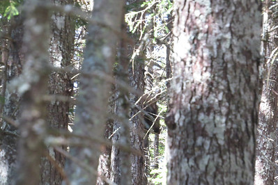 The moose I spooked, hiding before bounding up a ledge