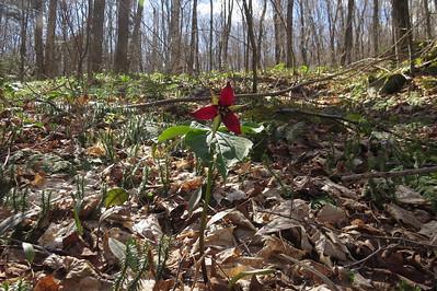 The obligaroty Red Trillium shot
