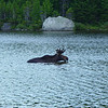 With wildlife there's no such thing as a sure thing, but seeing moose at Sandy Stream Pond is pretty close