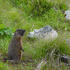 Yellow-bellied marmot, on west side of String Lake