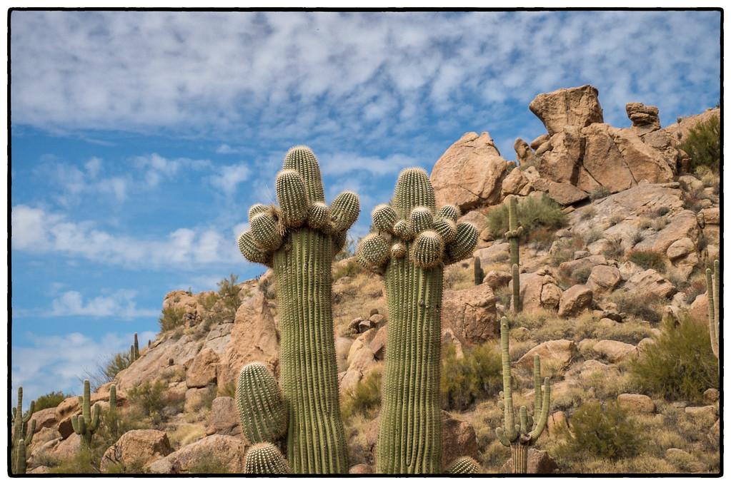 Browns Ranch Saguaros