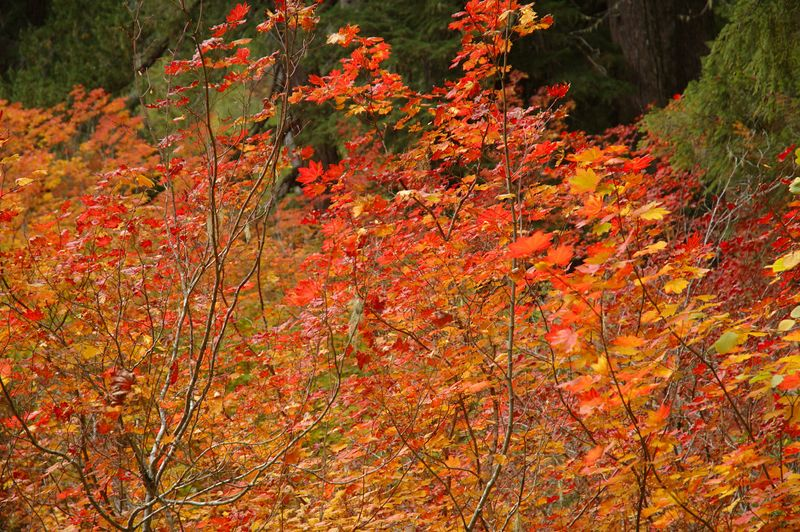 Vine maples turning red