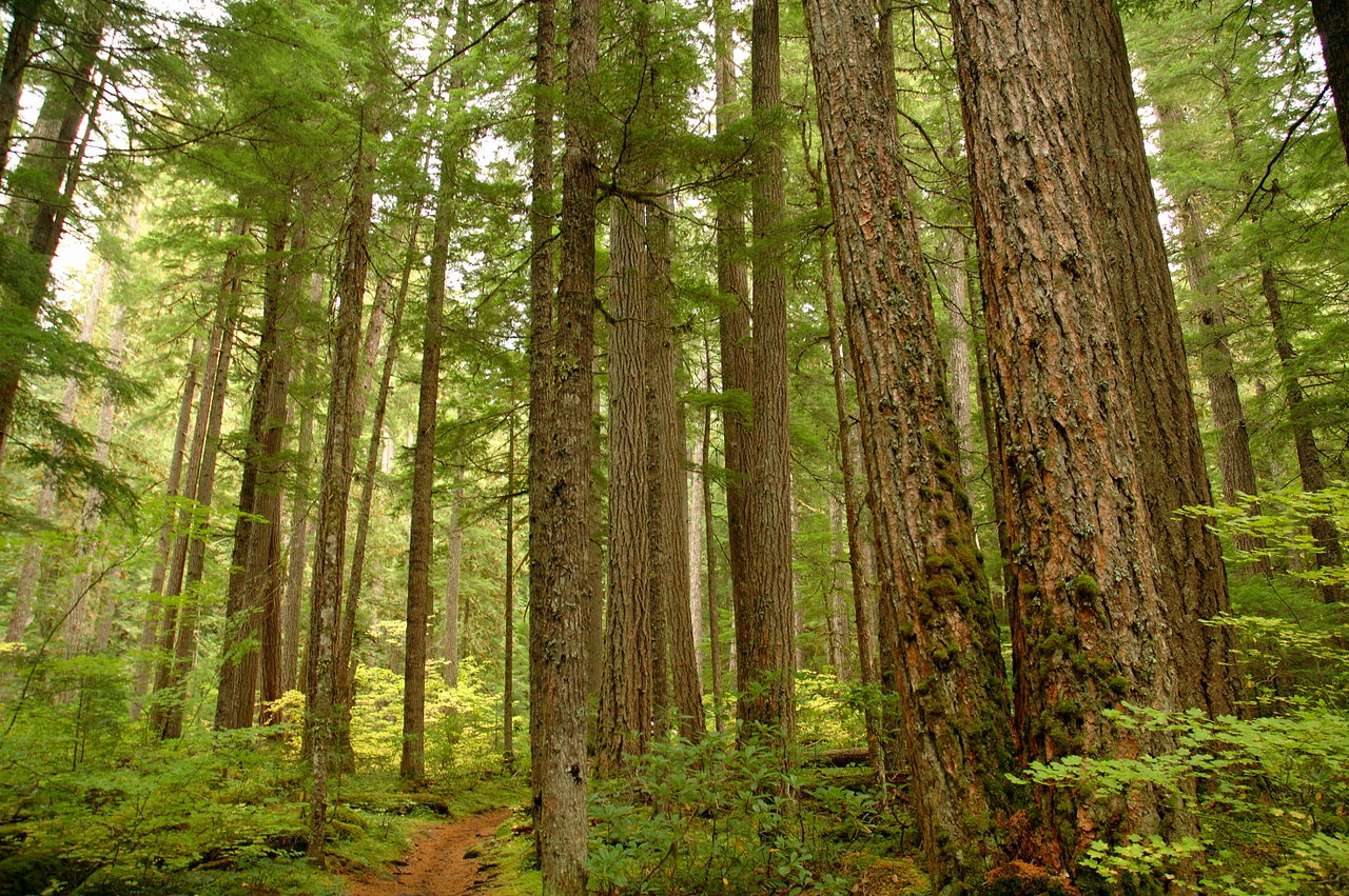 Towering trees of Old Growth on the trail in.