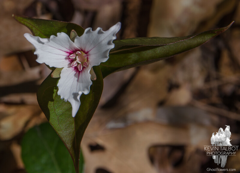 Painted Trillium (Trillium undulate) at Cathedral Ledge.