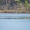 Loon platform-nest is still empty 5/17
