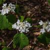 Hobblebush (Viburnum lantanide)